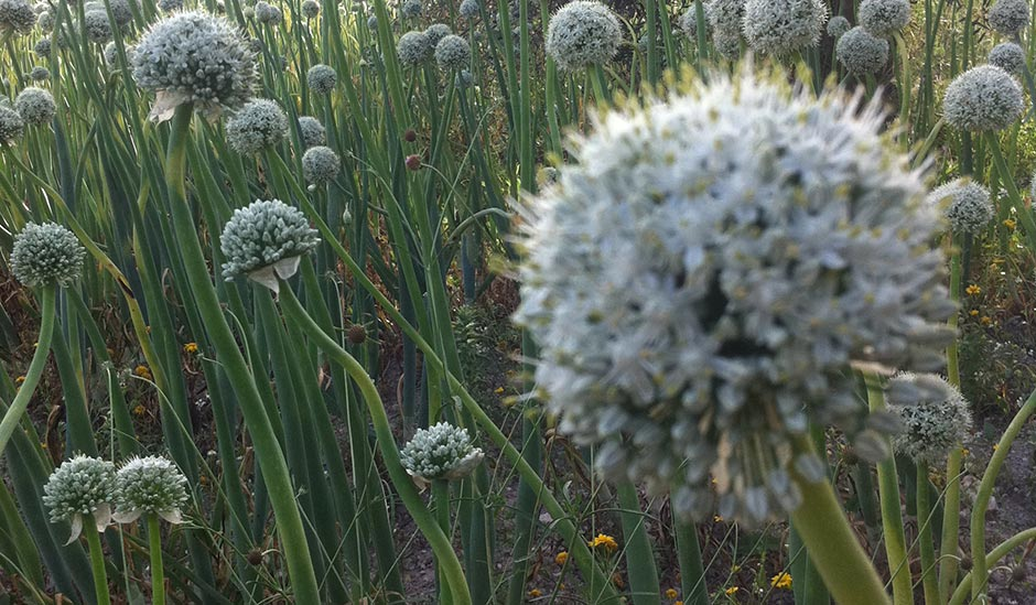 sagra cipolla giarratana - Fiore Cipolla di Giarratana
