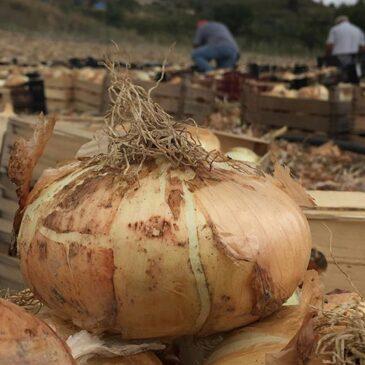 Cipolla di Giarratana: dalla coltivazione alla sagra!